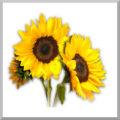 Agricol Sunflower