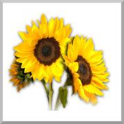 sunflower-agricol